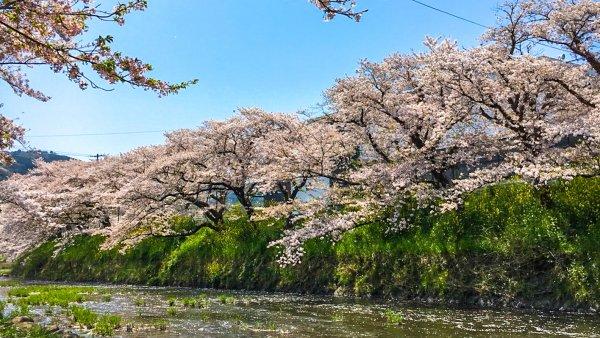 山口県の桜名所2018